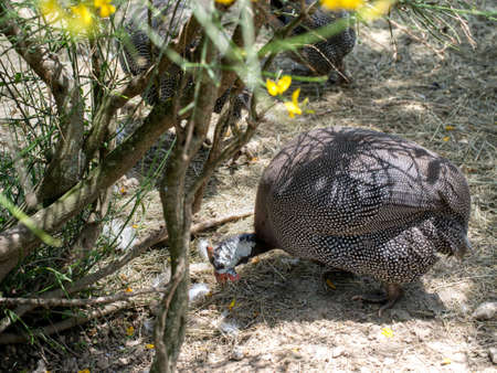 free range: Free range poultry. Guinea fowl forages in sunshine.