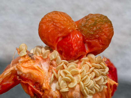 oddity: Weird vegetable - growing insider red pepper. Closeup with seeds.
