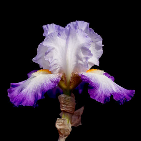 bearded iris: Beautiful detail, purple and white bearded iris isolated on black.