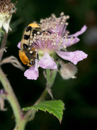 entomology: Amazing colours. Black and yellow beetle, Trichius gallicus. On blackberry plant.