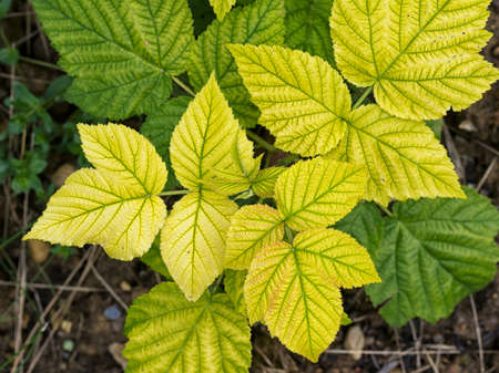 Rasperry with chlorosis.  Yellow leaves.Probably lack of iron. Gardening problem. 写真素材