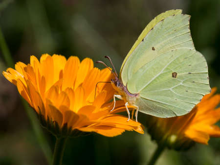 gonepteryx: Beautiful detail. Gonepteryx rhamni. Yellow Brimstone butterfly.
