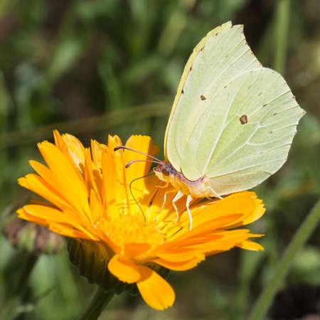 gonepteryx: Beautiful detail. Gonepteryx rhamni. Brimstone butterfly.