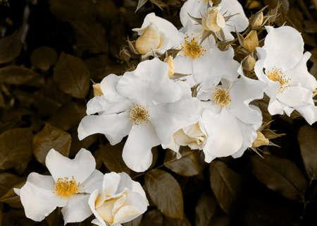 bereavement: Rose cascade. Melancholic, autumnal, maybe bereavement etc.