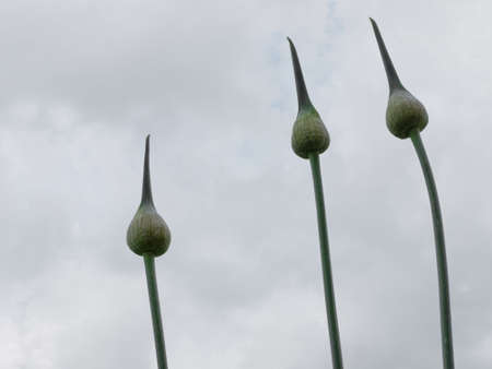 grey  sky: Striking allium spears against grey sky.