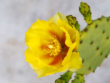 Detail. Cactus fruit flower. Yellow. Indian fig. Stock Photo