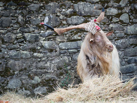 cuernos: Tethered goat with great horns