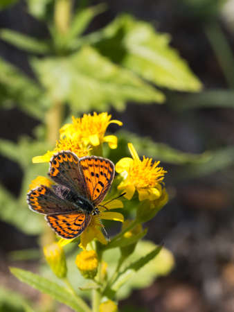 sooty: Sooty copper butterfly. Enjoying sunshine on yellow flower.