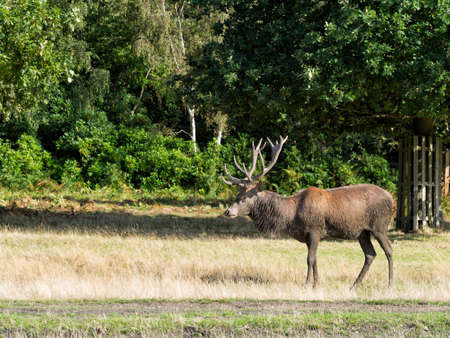 wallowing: Red deer stag. Muddy, Has clearly been wallowing!