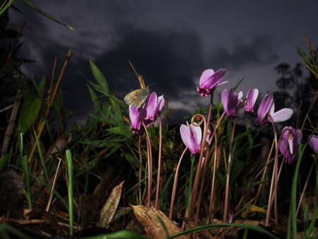 roosting: Butterfly roosting on cyclamen flowers. As darkness falls. Stock Photo