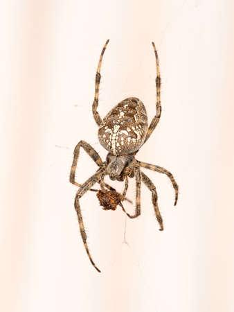 araneidae: European garden spider with lunch. Macro.