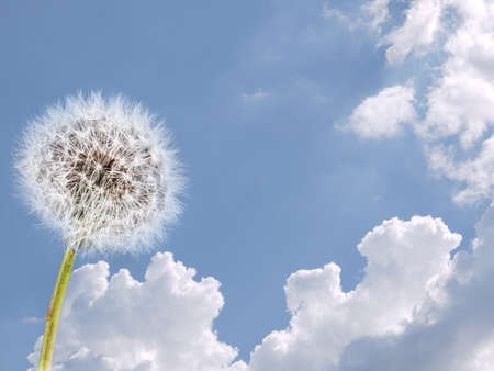 airiness: Weather, air concept. Dandelion against blue sky.