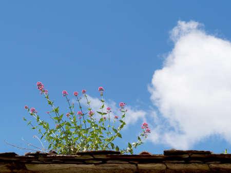 Valeriana officinalis. Medicinal herb.