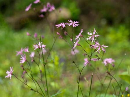 Lychnis flos-cuculi. Herbaceous perennial plant.