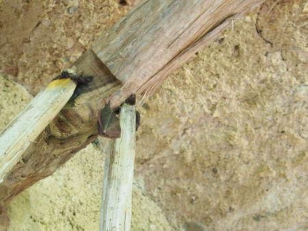 小型コウモリは冬眠。約 5 cm の長さ。 写真素材 - 79441858