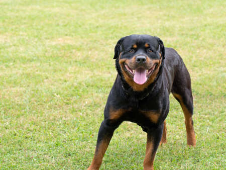 Rottweiler. Impressive animal, but actually a nice dog! Stock Photo