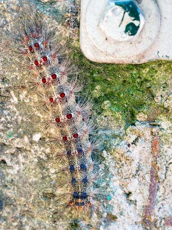 Lymantri dispar, large hairy caterpillar. Stock Photo