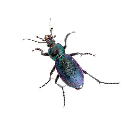 Purple and green iridescent. Beautiful. Carabus violaceus. Stok Fotoğraf