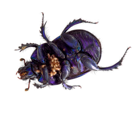 Dung beetle with parasitic mites. Beautiful iridescent purple insect. Stock Photo