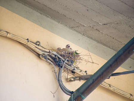 Eurasian ring necked doves on nest in spring. On electrical wiring!