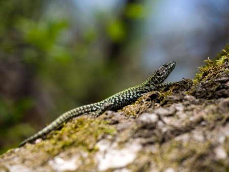 Wall lizard sunning himself.