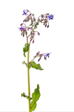 Herb. Borago officinalis.
