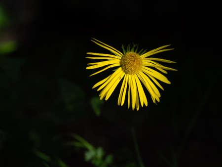 Yellow daisy. Missing some petals. Banco de Imagens