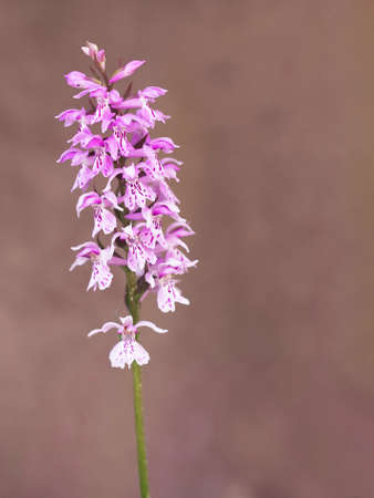 Heath spotted orchid. Dacylorhiza maculata.