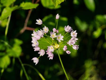 Hedgerow plant. Wild garlic in flower. Banco de Imagens