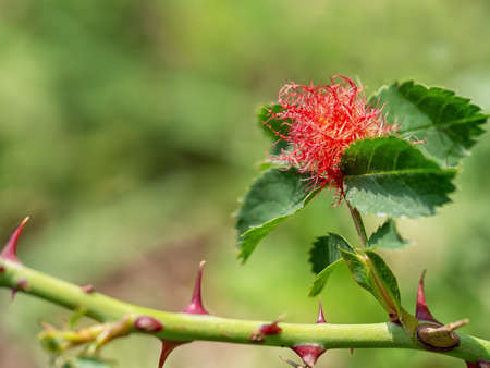 Bedeguar gall, caused by parasitic mossy rose gall wasp. Diplolepis rosae.