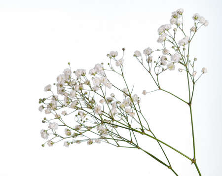 Closeup of small white gypsophila flowers isolated on white Stock Photo