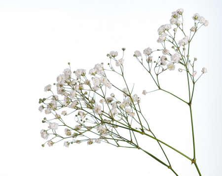 Nahaufnahme der kleinen weißen Gypsophila-Blumen, die auf Weiß isoliert werden