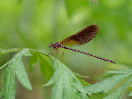 The beautiful demoiselle, Calopteryx virgo, is a European damselfly belonging to the family Calopterygidae. Stock Photo