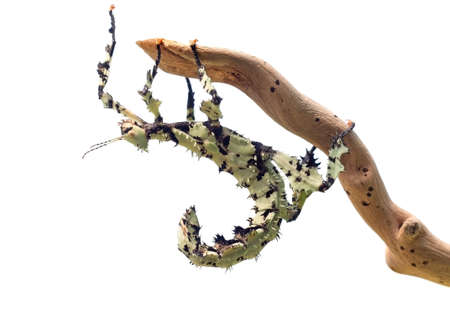 Giant Prickly Stick Insect , Extatosoma tiaratum, from Australia. A popular pet. Here lichen color morph. Female on white. Reklamní fotografie