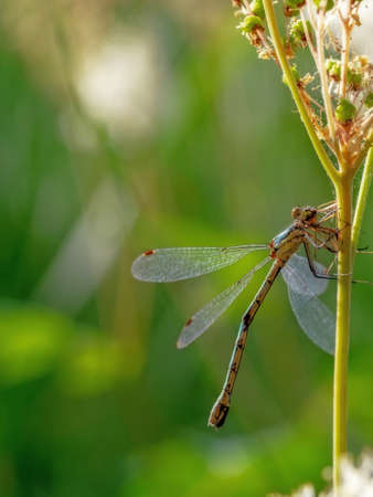 A Scarce Emerald Damselfly, Lestes dryas, with prey, in the summer sun. Vertical. Stock Photo