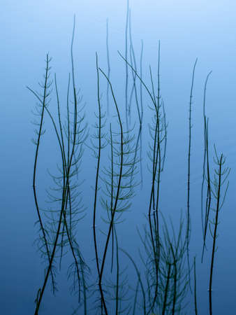Naturalistic abstract background. Equisetum growing in lakeside water. It is the only living genus in Equisetaceae, a family of vascular plants that reproduce by spores rather than seeds. Stockfoto