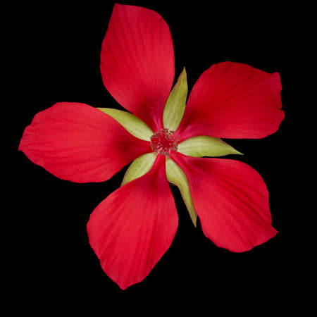 Hibiscus coccineus or scarlet rosemallow, huge, exuberant red flower isolated on black. Aka Texas star, brilliant or scarlet hibiscuss.