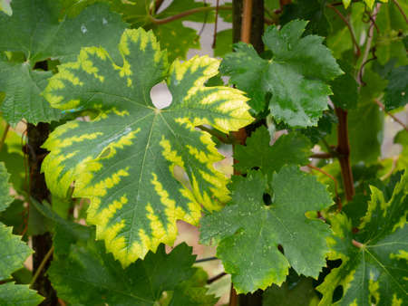 Interveinal chlorosis caused by iron or nitrogen deficiency on a grape vine. Agriculture, viticulture problem. Banque d'images