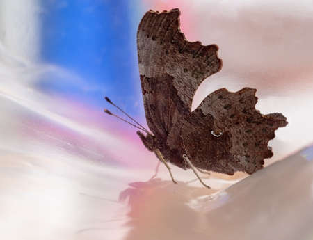 Comma butterfly, Polygonia c-album, profile on polythene bag Banco de Imagens
