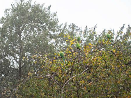 Rose Ringed Parakeets, Psittacula Krameri, in bush, London, UK.