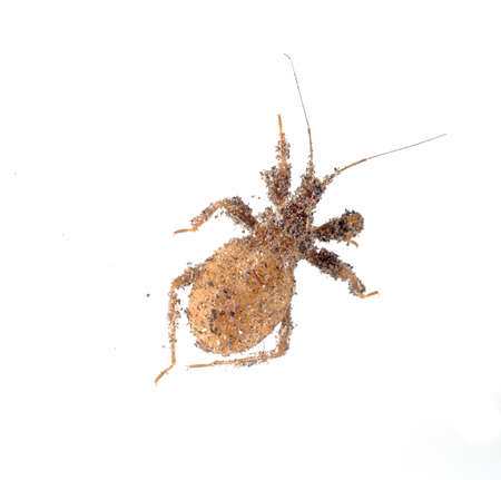 Young masked hunter, nymph, Reduvius personatus, covered in dust isolated on white. Stock Photo
