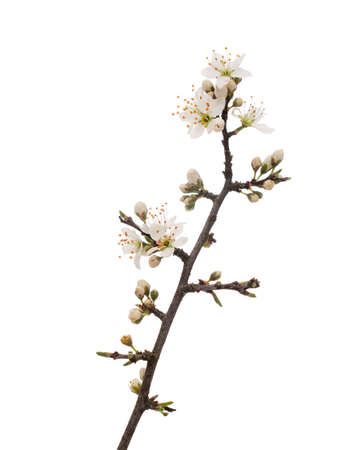 Prunus spinosa, blackthorn aka sloe blossom in springtime, isolated on white background. Delicate white flowers, close up detail. Stock Photo