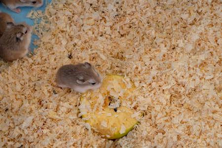 Tiny Roborovski dwarf hamsters for sale as pets in street market, one eating apple. Aka Robo, desert hamster. Stockfoto