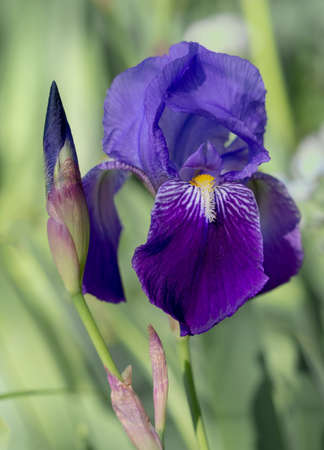 Deep purple Bearded Iris Germanica aka Flag flower in natural setting. Narrow depth of field for defocussed background
