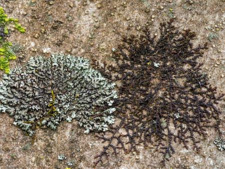 Lichen. Phaeophyscia orbicularis and Frullania probably dilatata .