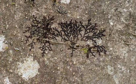 Lichen. Frullania, probably dilatata .