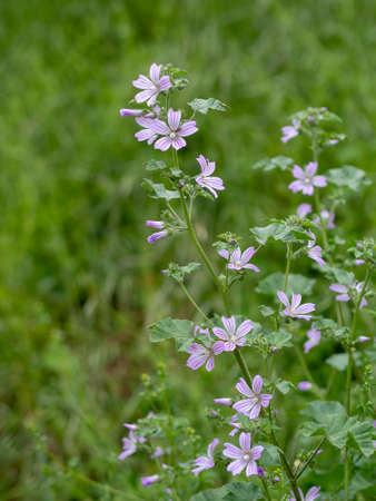 Comon mallow plant, in flower, Malva silvestris. Medicinal herb.