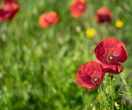 Wildflower meadow in spring, Europe, with red poppies. Natural environment.
