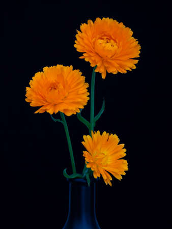 Three calendula flowers in dark vase on dark blue background. Striking dramatic still life. Zdjęcie Seryjne