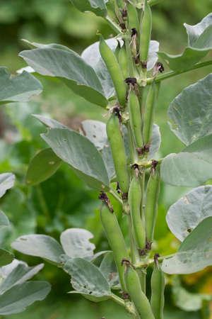 Broad Bean plant in garden. Short pod variety. Aka Fava or Windsor beans.